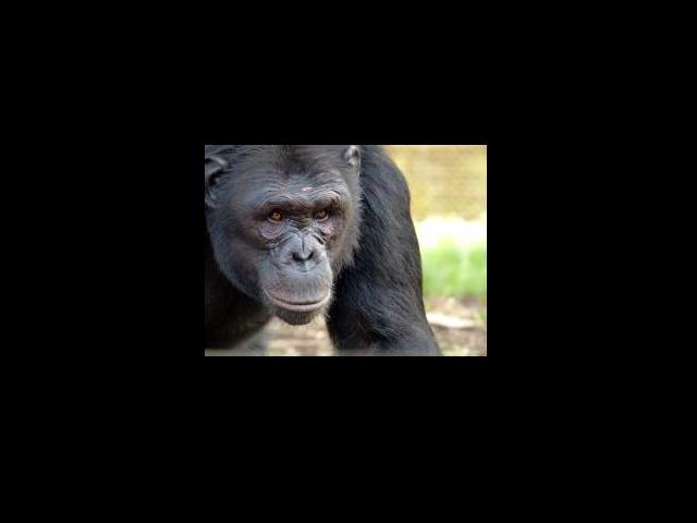 Chimpancé de Nigeria-Camerún rescatado por el centro LWC. (Foto:  LWC).