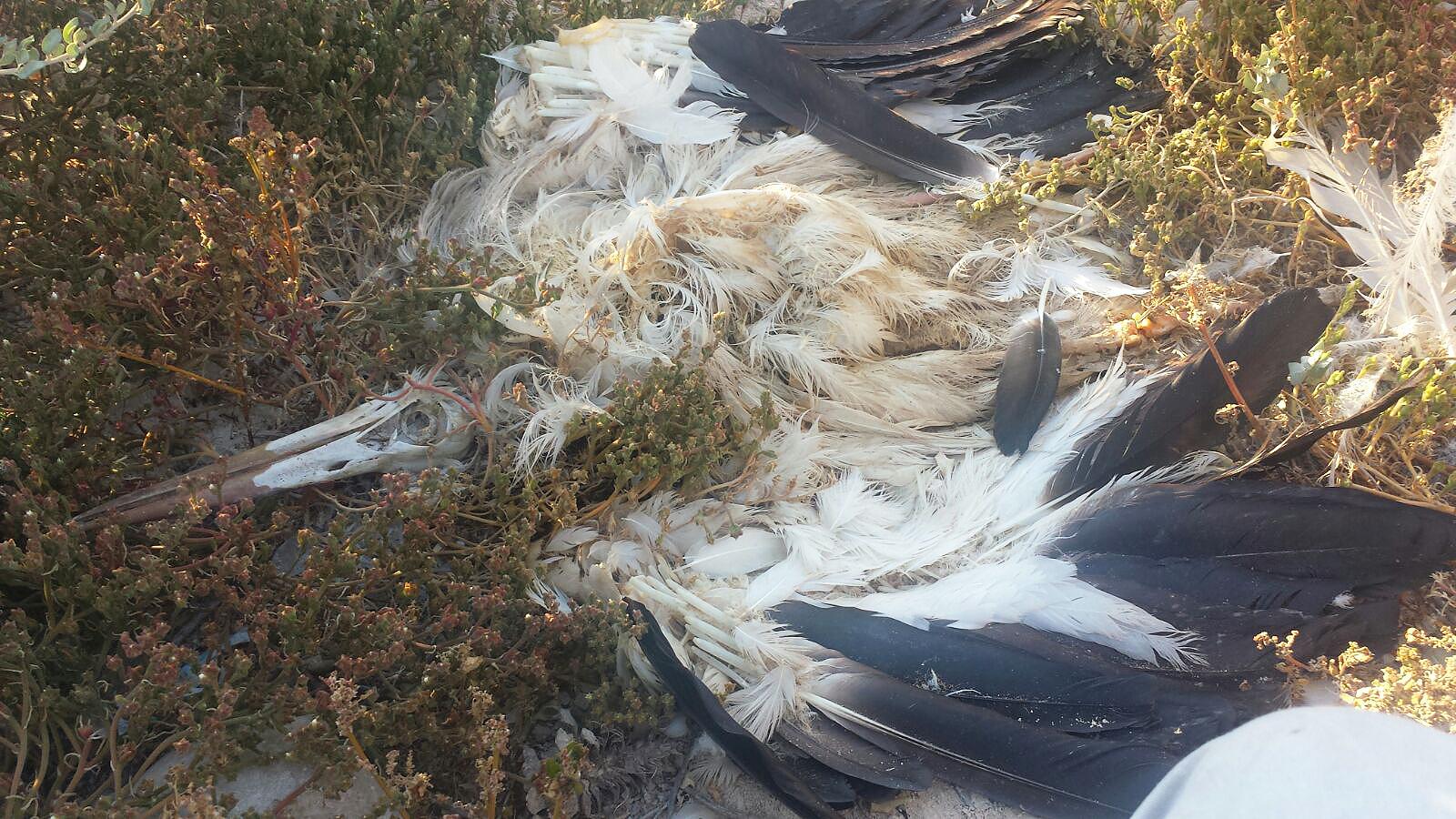 Cadáver de una cigüeña blanca hallado bajo una torre de alta tensión en el municipio de Murcia. Imagen: José Luis López Nieto