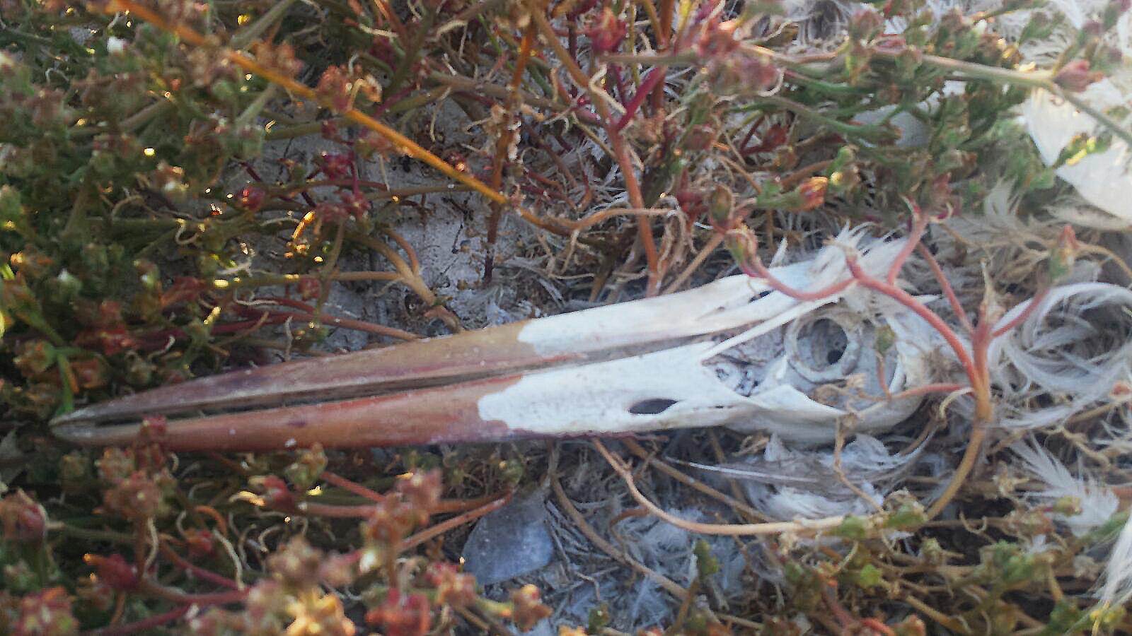 Detalle del pico de la cigüeña blanca. Imagen: José Luis López Nieto