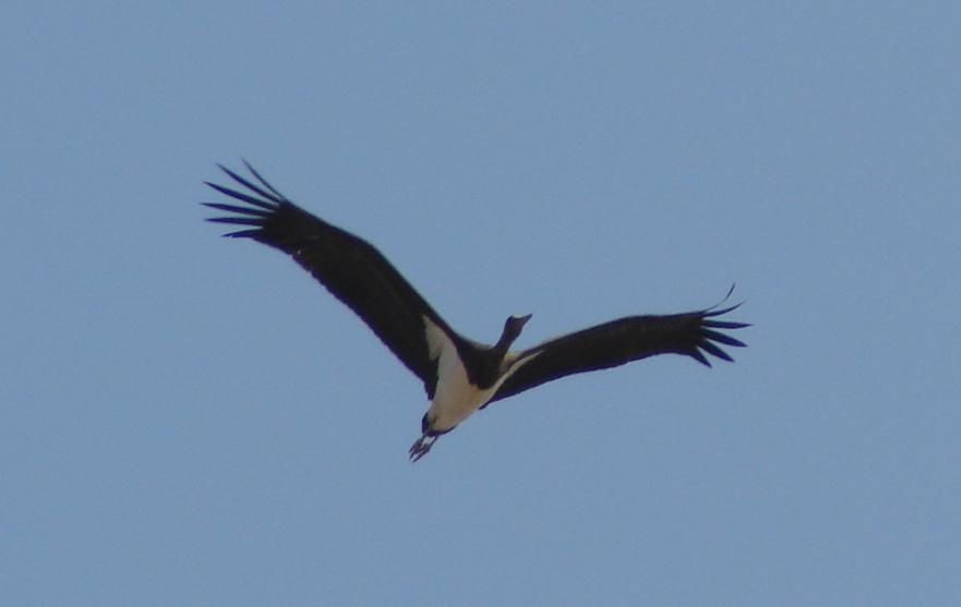 Cigüeña negra. Imagen COCN.