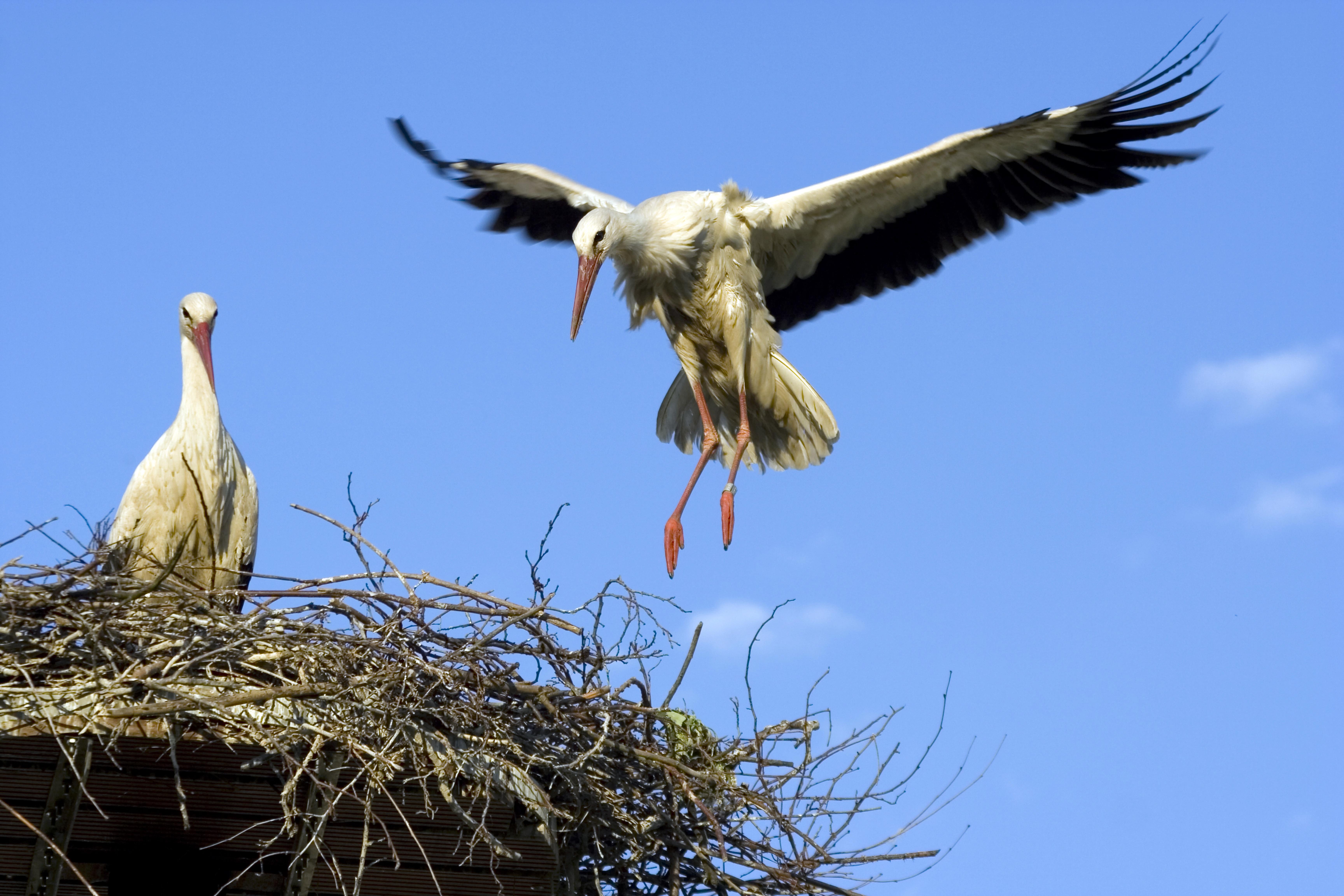 Un nido de cigüeña. Imagen: Ayto. Murcia