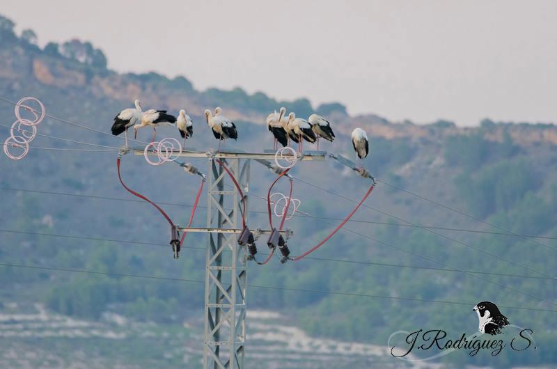 Un grupo del bando de cigüeñas que sobrevolaron Moratalla hace escasos días, posada en una torreta de seguridad para las aves. Imagen: Jesús Rodríguez