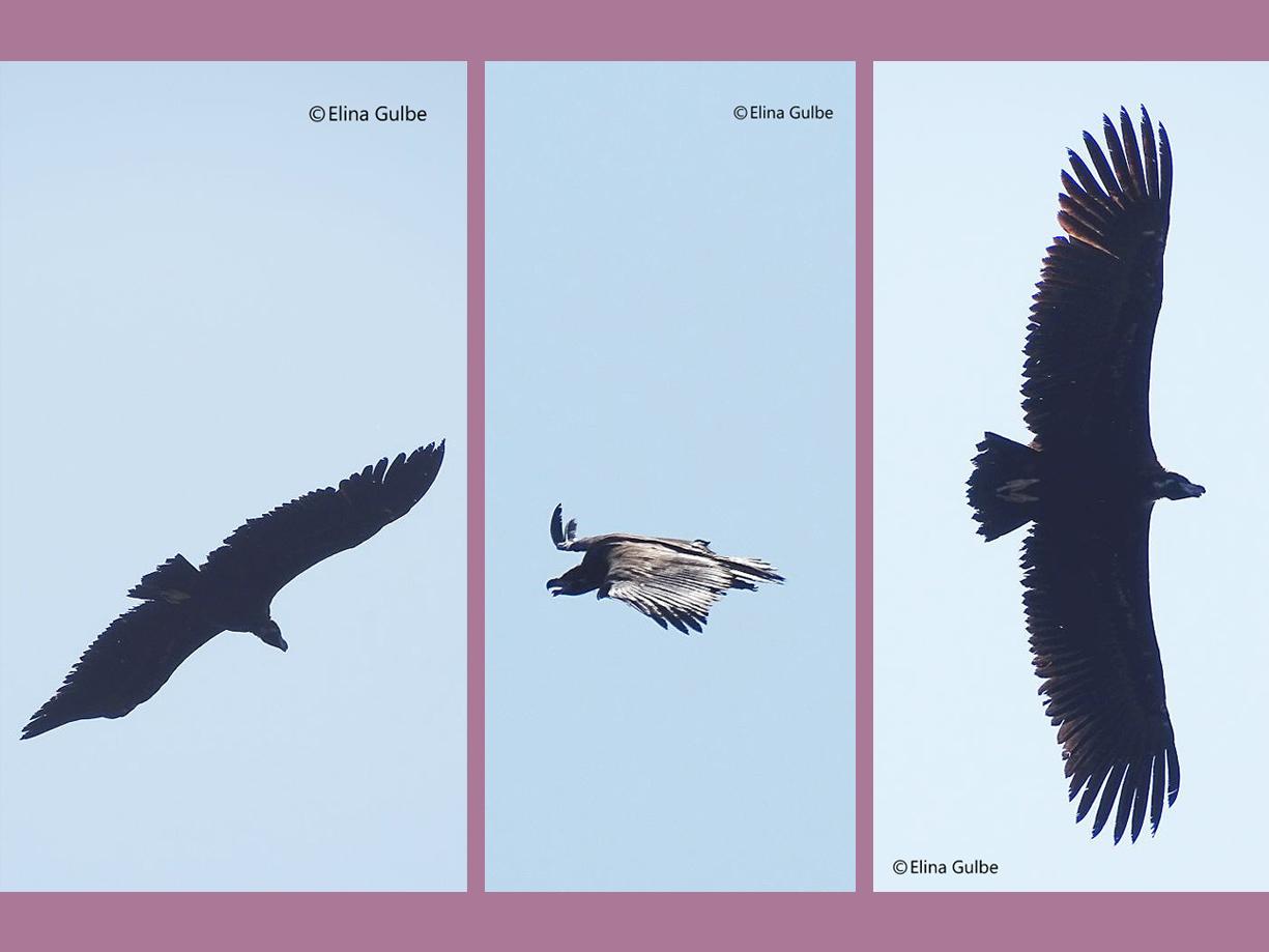 Tres capturas del fabuloso buitre negro (la mayor ave de Europa)  que se ha dejado ver en Letonia. Imagen: Elina Gulbe