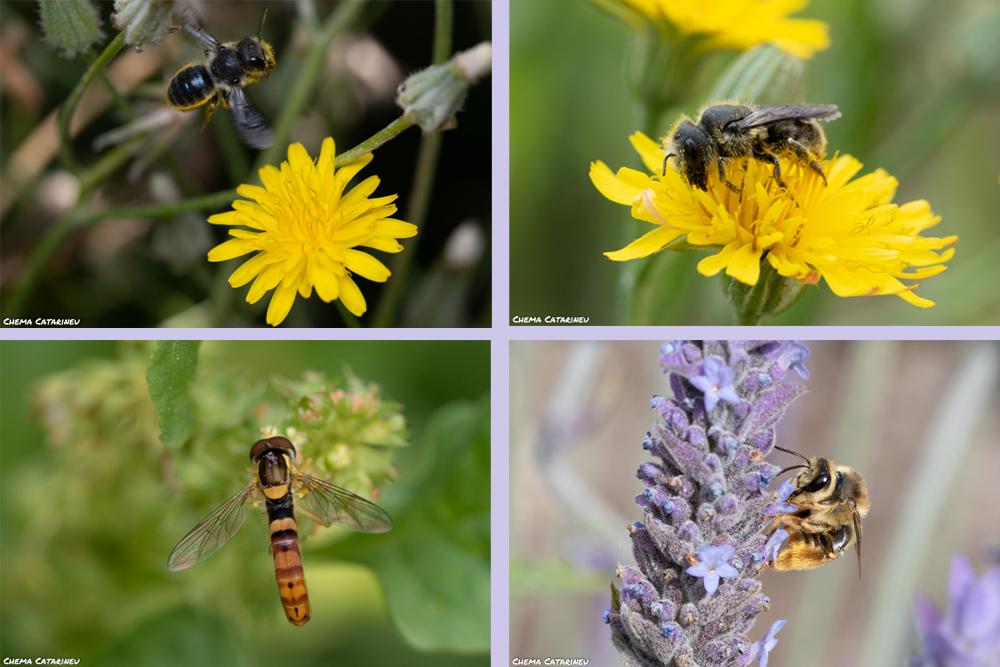 De izquierda a derecha y de arriba a abajo: Osmia caerulescens; Osmia latreillei; Sphaerophoria scripta -una mosca polinizadora- y Eucera-sp.-. Imagen: Chema Catarineu / ANSE
