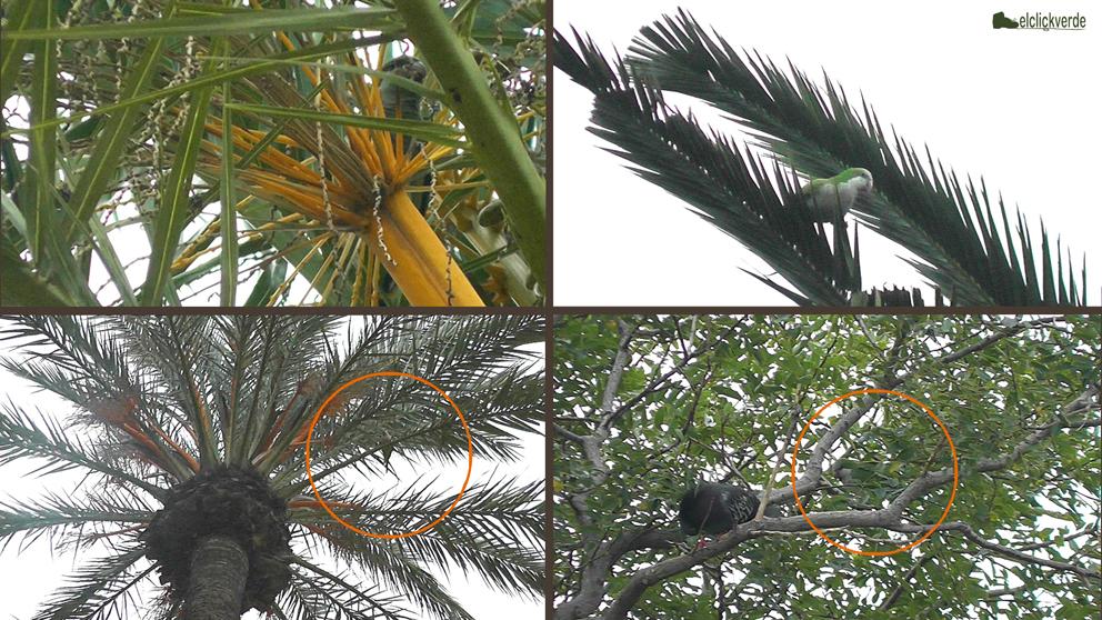 Cotorra argentina, en palmeras y otros árboles. A veces, es más fácil oírlas que verlas.
