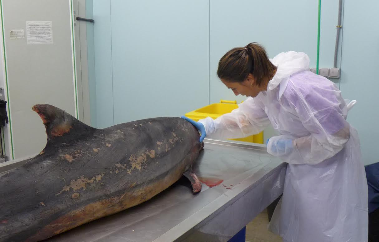 Consuelo Rubio, antes de comenzar la necropsia de un delfín mular. Imagen: Fundación Oceanogràfic
