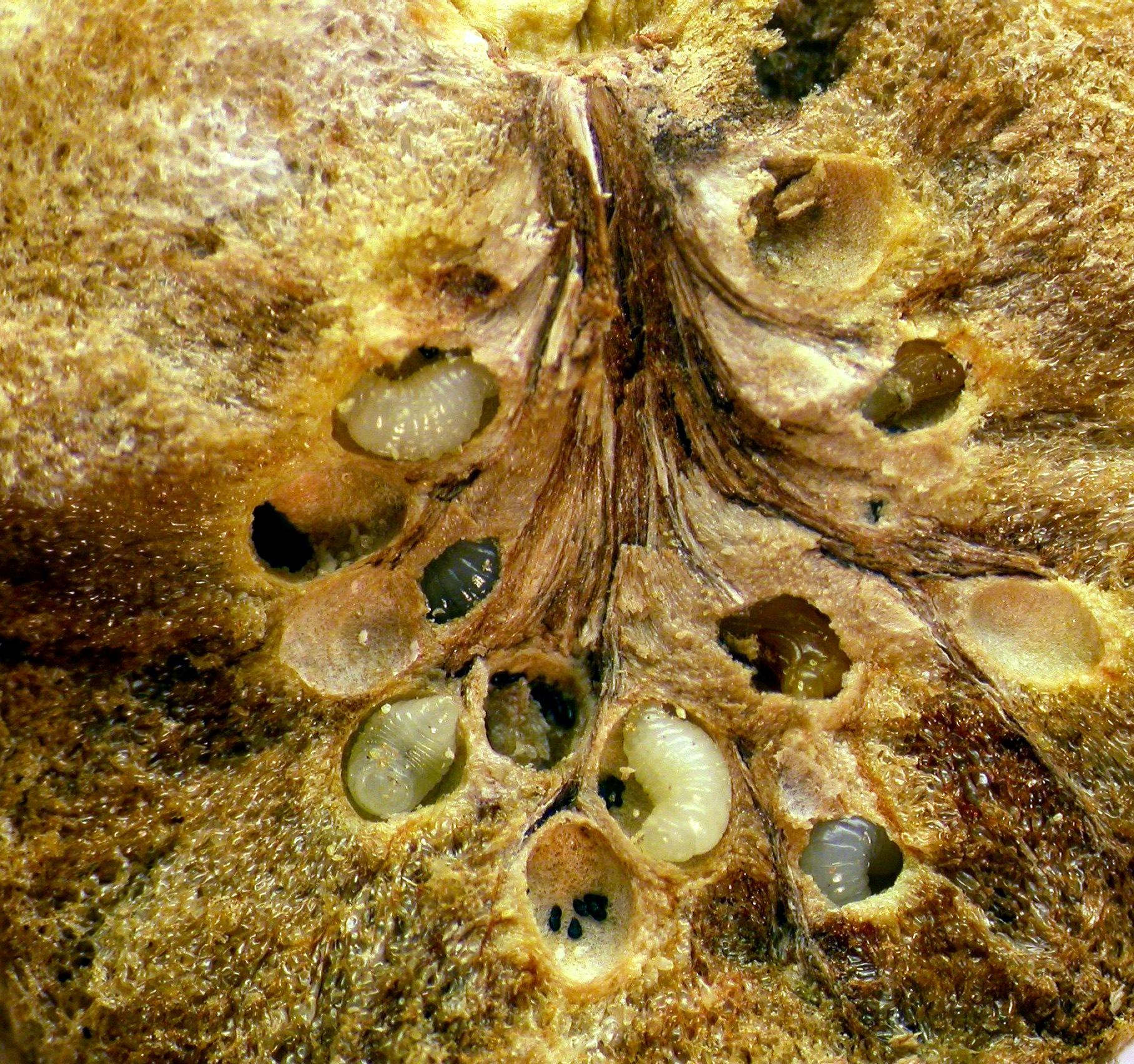 Sección de una agalla mostrando las larvas de 'B. pallida'. Imagen: MNCN-CSIC