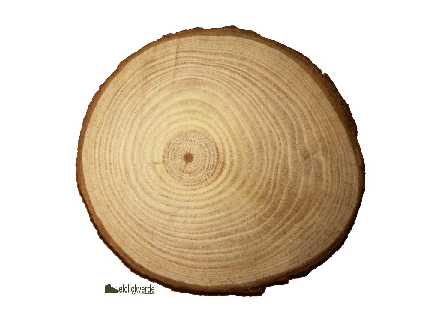 Corte de un tronco de pino, mostrando los anillos anuales de crecimiento. Imagen: ecv