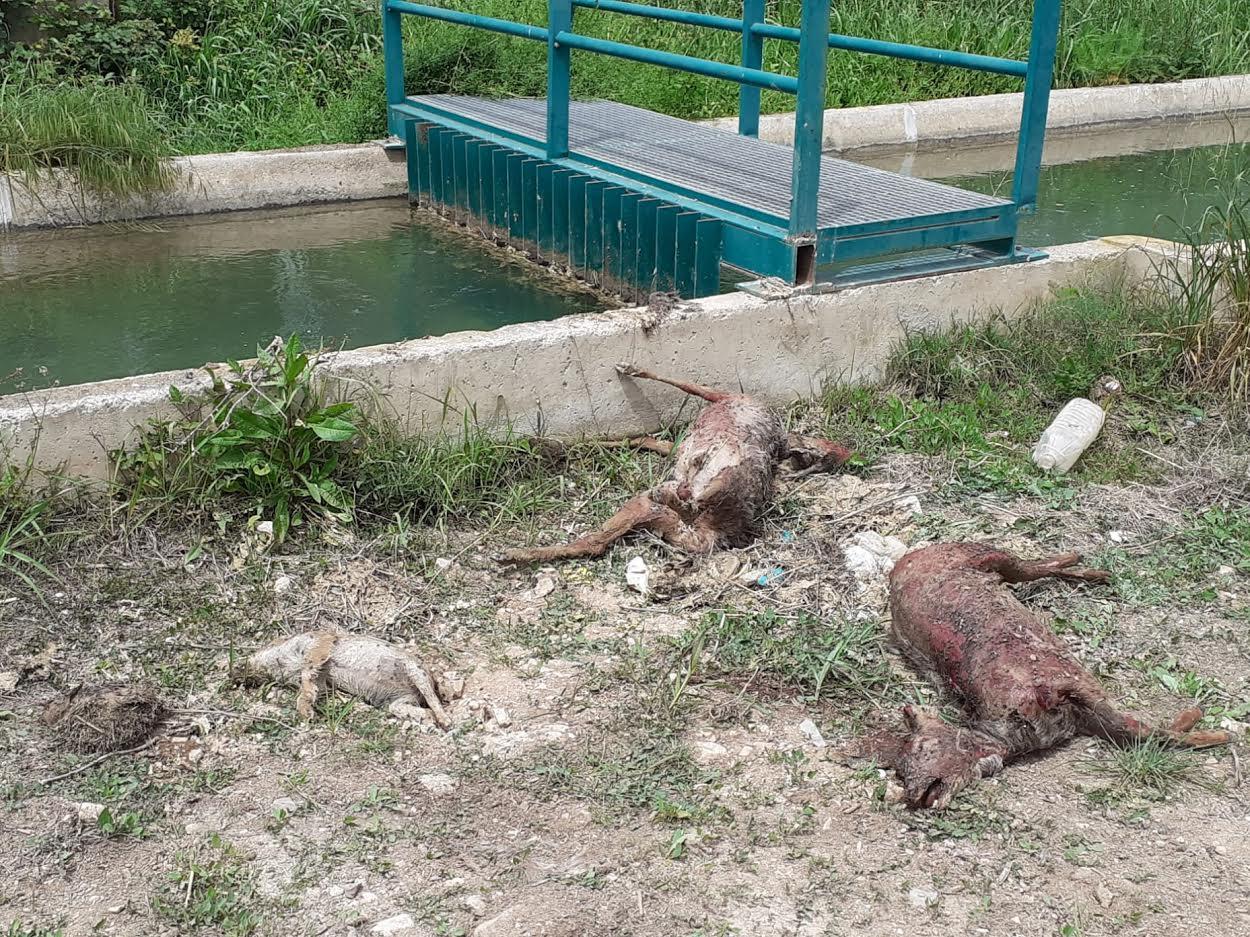 Cadáveres de erizo, jabalí y corzos extraídos del canal del Turia. Imagen: Adensva