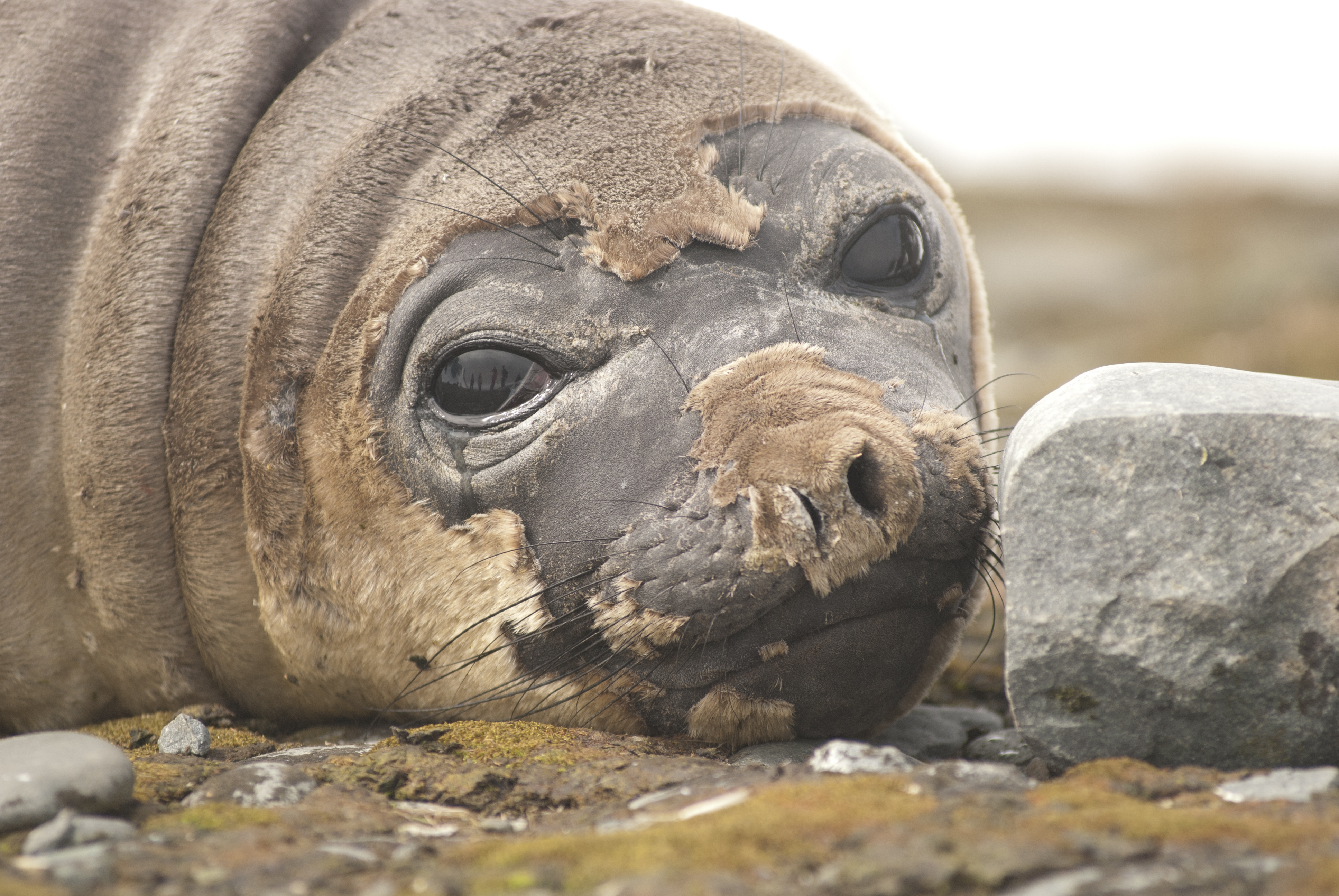 Foca en la Antártida. Imagen: Xiomara Cantera / MNCN