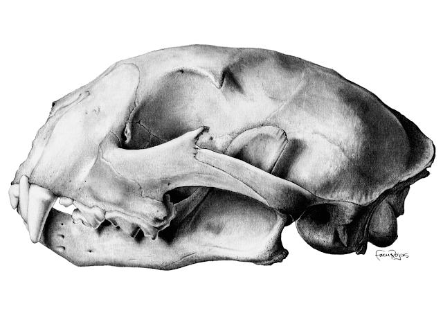 Cráneo de puma, de Raúl Facundo Rojas Romero. Imagen: MNCN