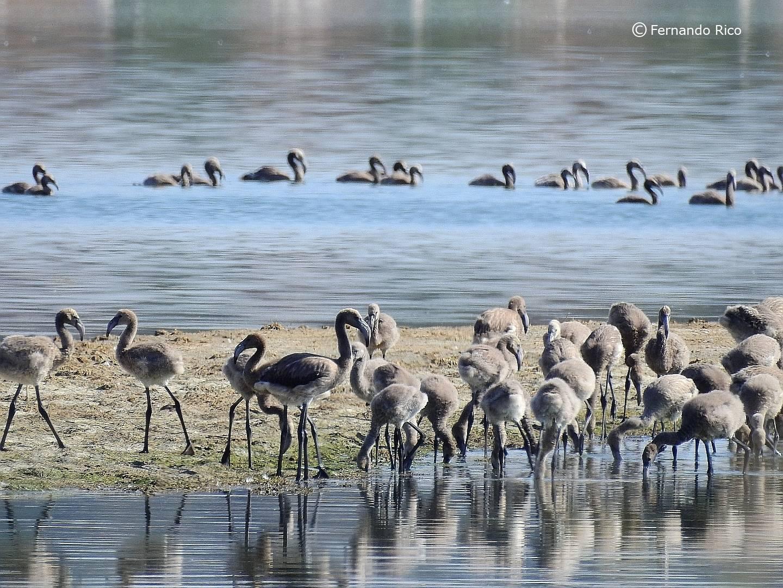 Crías nacidas la primavera de  2020 en la colonia de la Laguna de Pétrola. Imagen: Fernando Rico