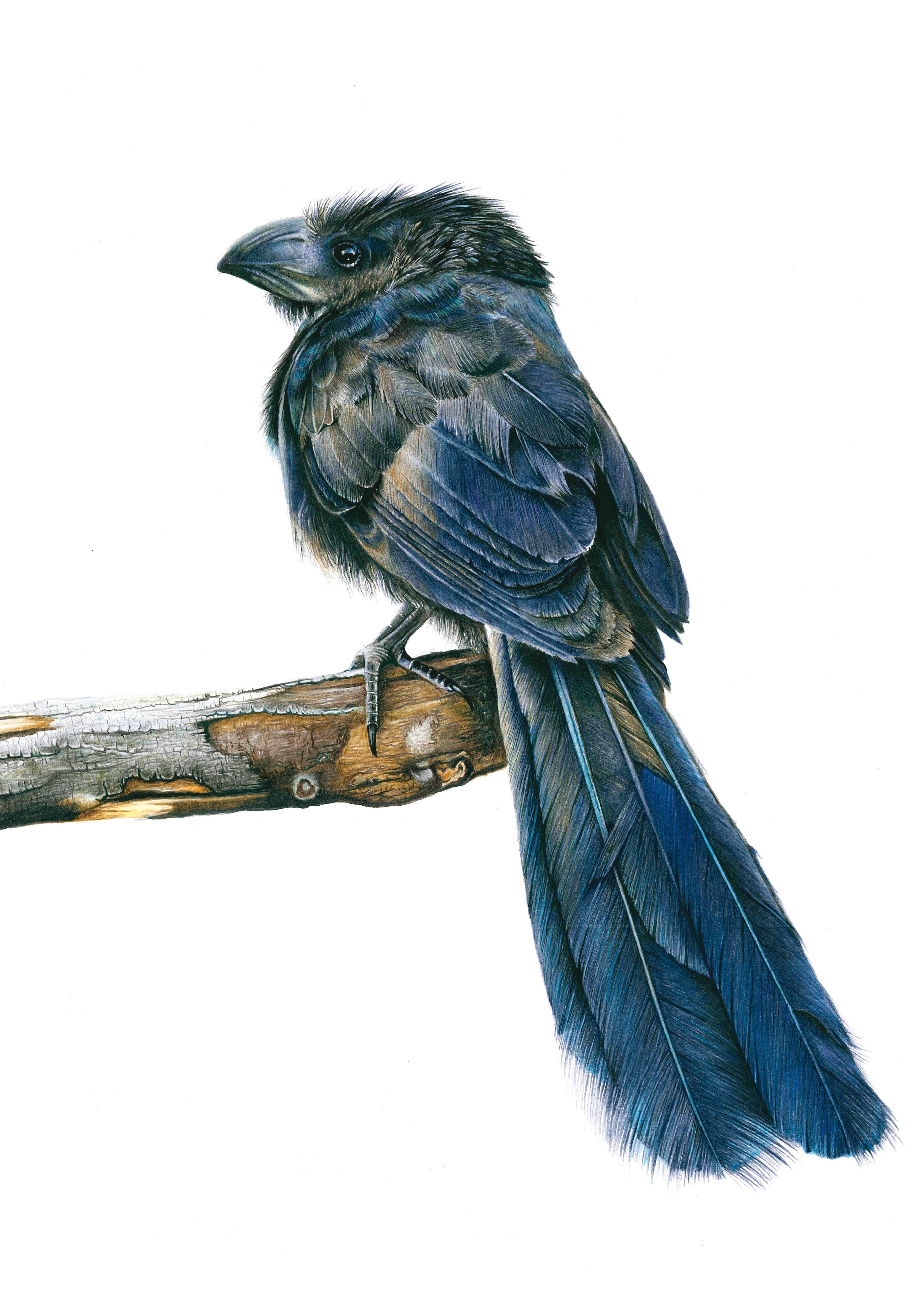 El matacaballos ('Crotophaga sulcirostris'), de Camilo E. Maldonado (Chile), obra ganadora del Premio del público en la séptima edición. Imagen: MNCN
