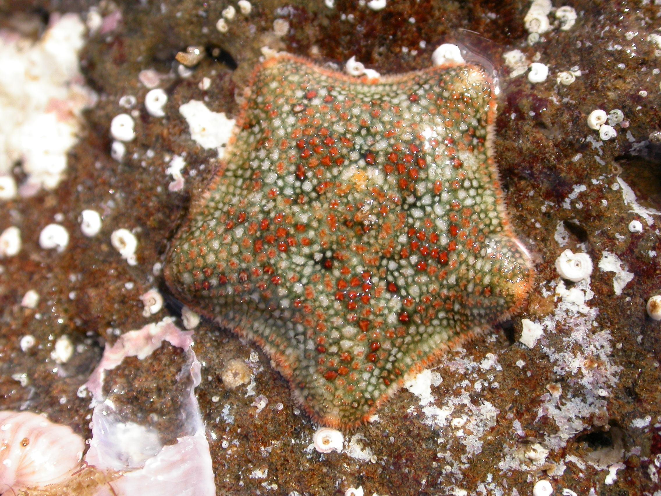 Ejemplar de una estrella de mar 'Asterina martinbarriosi'. Imagen: CSIC