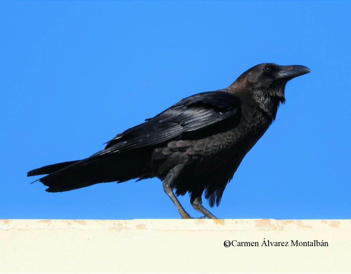 Cuervo desertícola. Imagen: Carmen Álvarez Montalbán