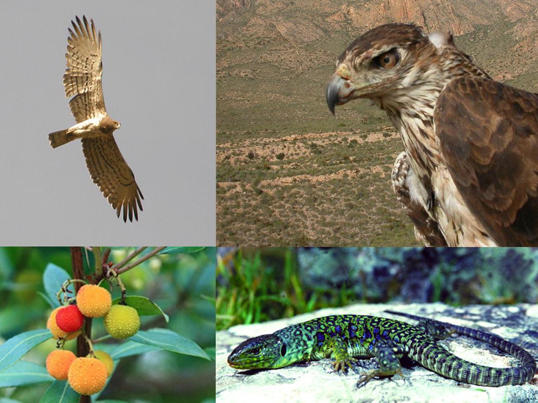 Aguila culebrera, aguila azorperdicera, madroño y lagarto ocelado, algunos valores de la zona protegida. Imagen: CARM (Catálogo de montes de utilidad pública)