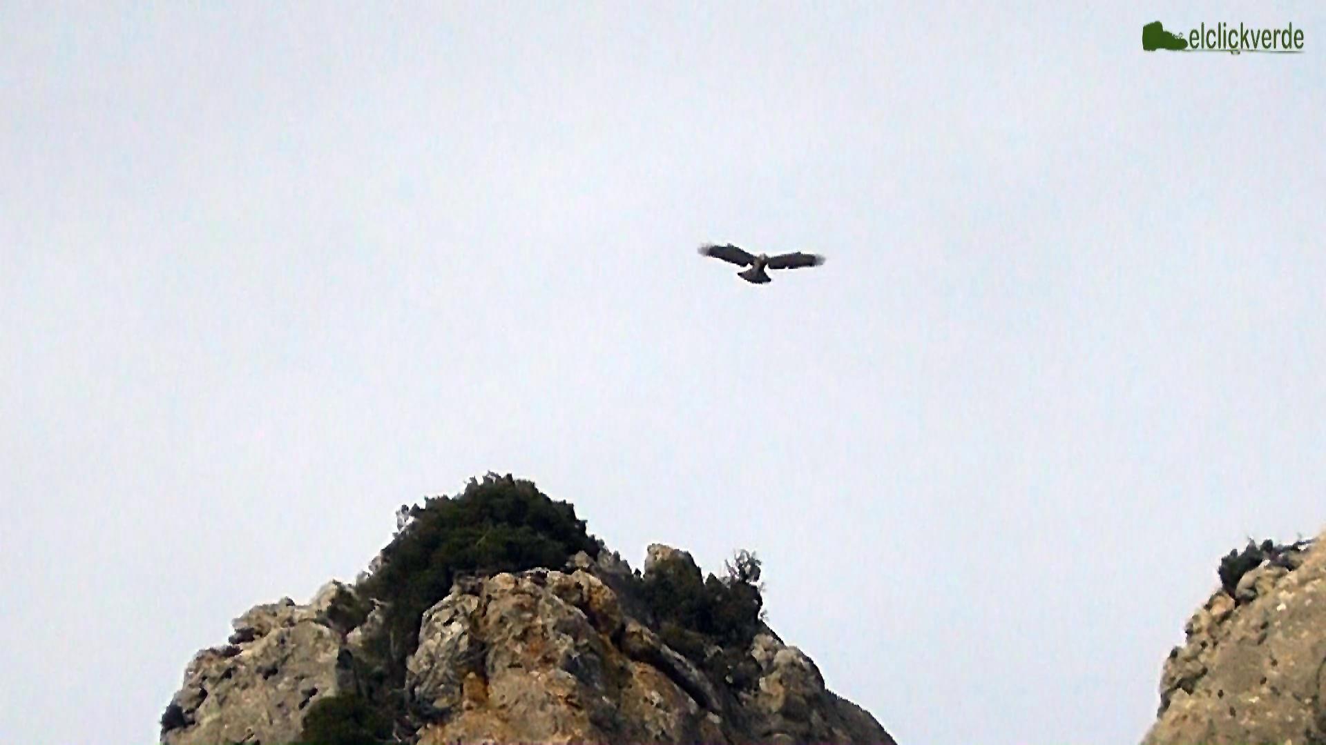 Captura del vídeo de la culebrera europea cerniéndose.