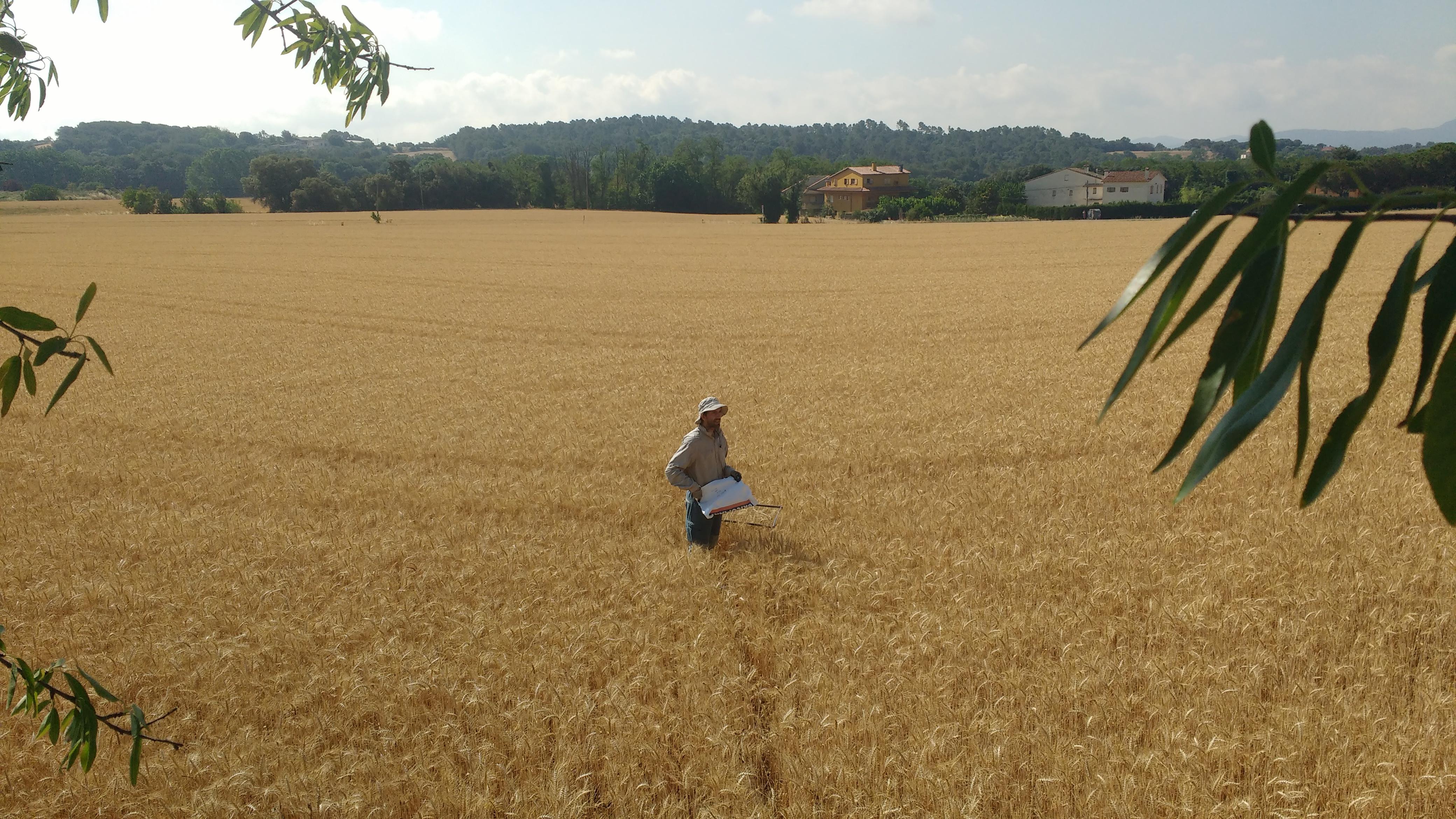 Campo de trigo en Franquesas del Vallés (Barcelona), uno de los analizados en el trabajo. Imagen: David Sánchez Pescador / CSIC