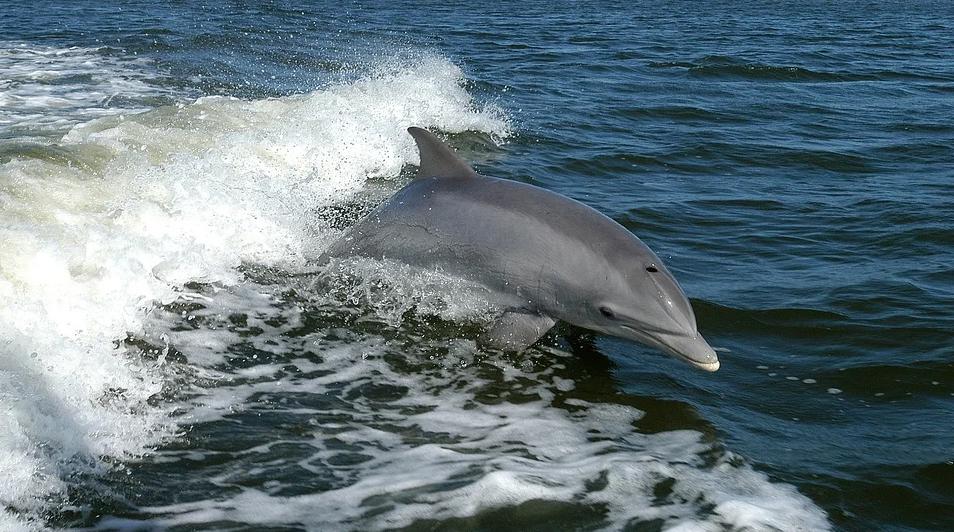 El delfín mular es una de las especies prioritarias en el estudio. Imagen: Pixabay