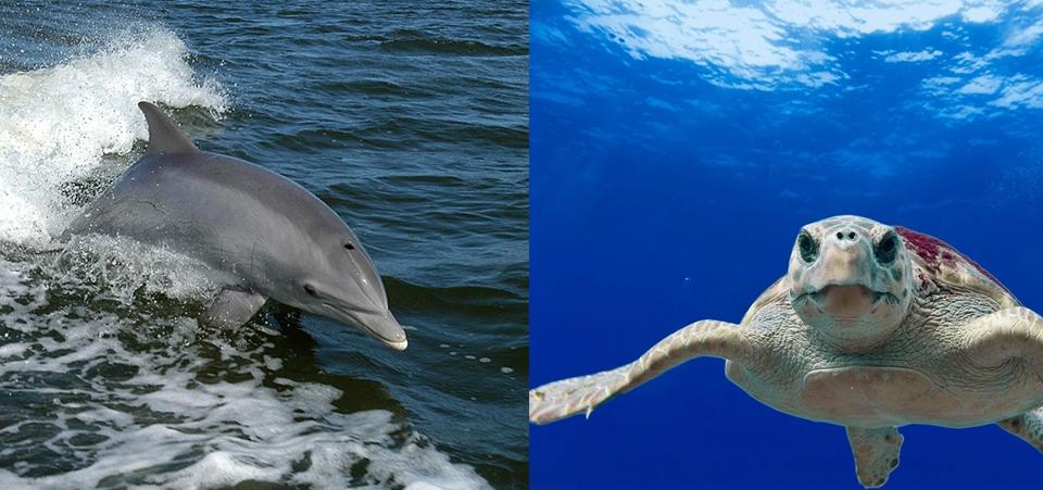Delfín mular y tortuga boba. Imagen: Pixabay