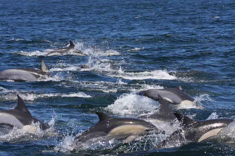 Delfines comunes en el Océano Índico. Imagen: Stephanie Plön / CSIC