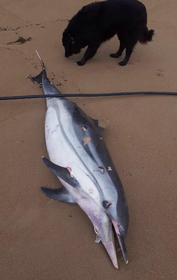 Un adulto de delfín listado sacado a la orilla por el temporal. Imagen: Fundación Oceanogràfic