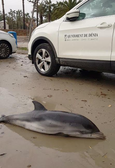 Cría de delfín listado hallada en Denia. Imagen: Fundación Oceanogràfic