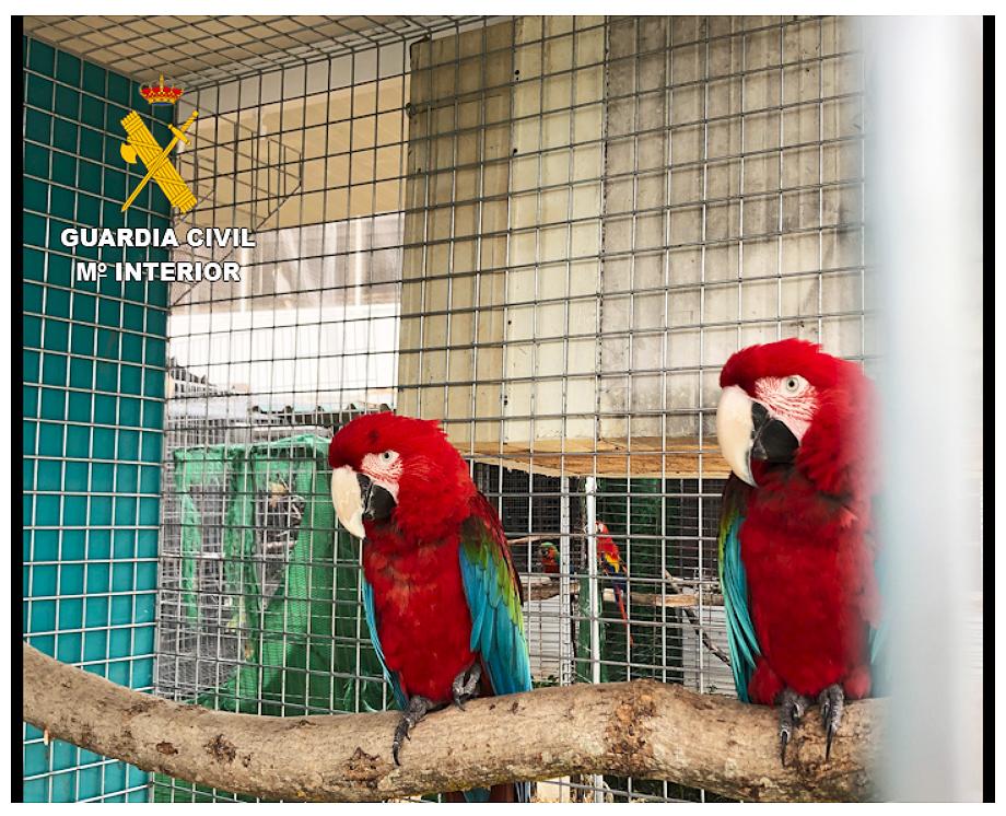 Entre las especies incautadas hay guacamayos, loros y cacatúas. Imagen: Seprona