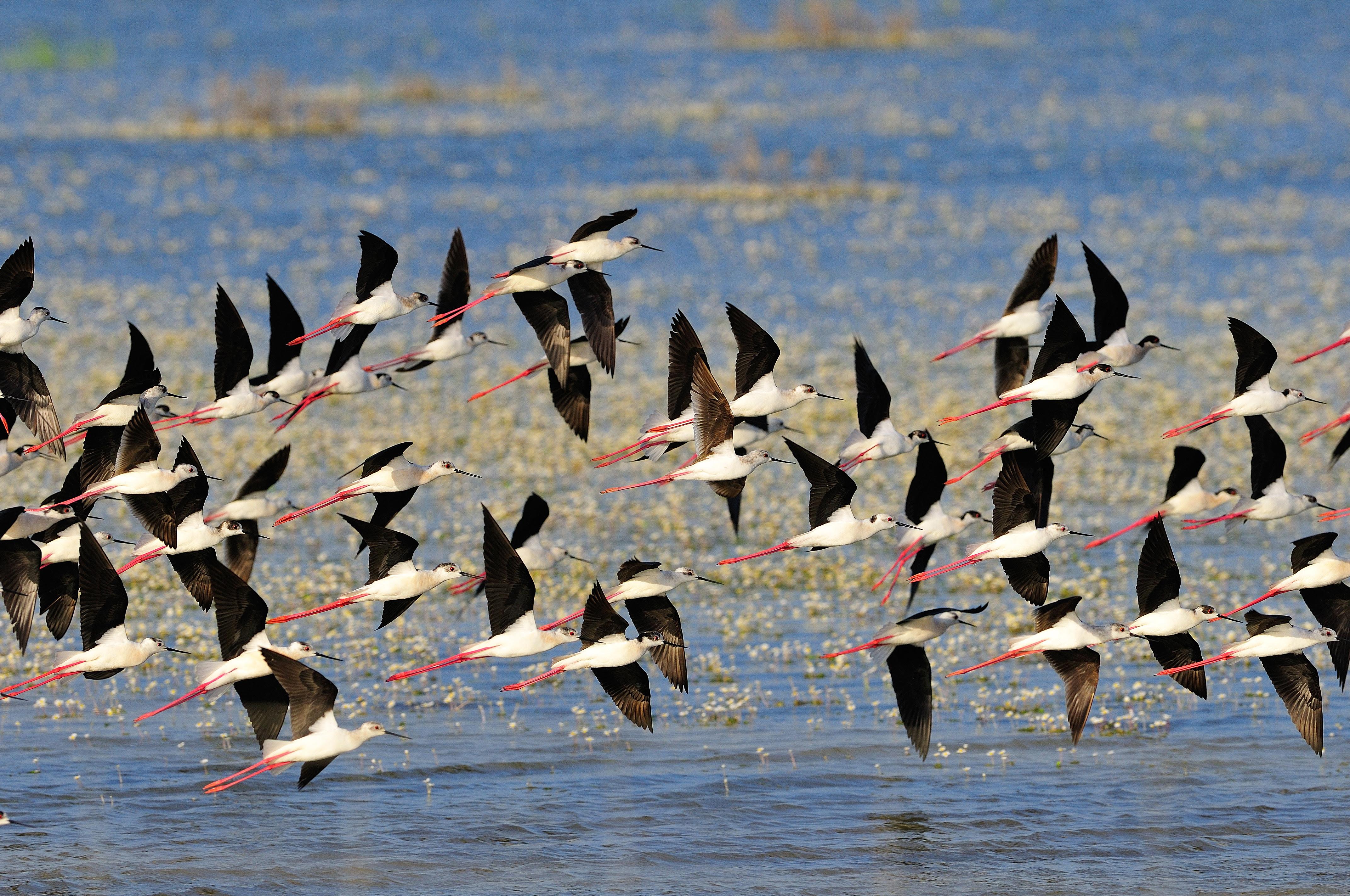 Cigüeñuelas en las marismas de Doñana. Imagen: WWF