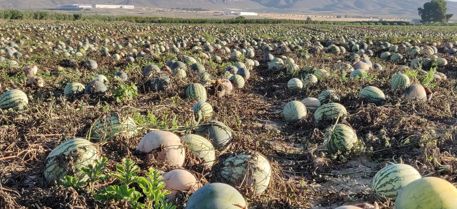 Plantackión de sandías en Jumilla. Imagen: Salvemos el Arabí y Comarca