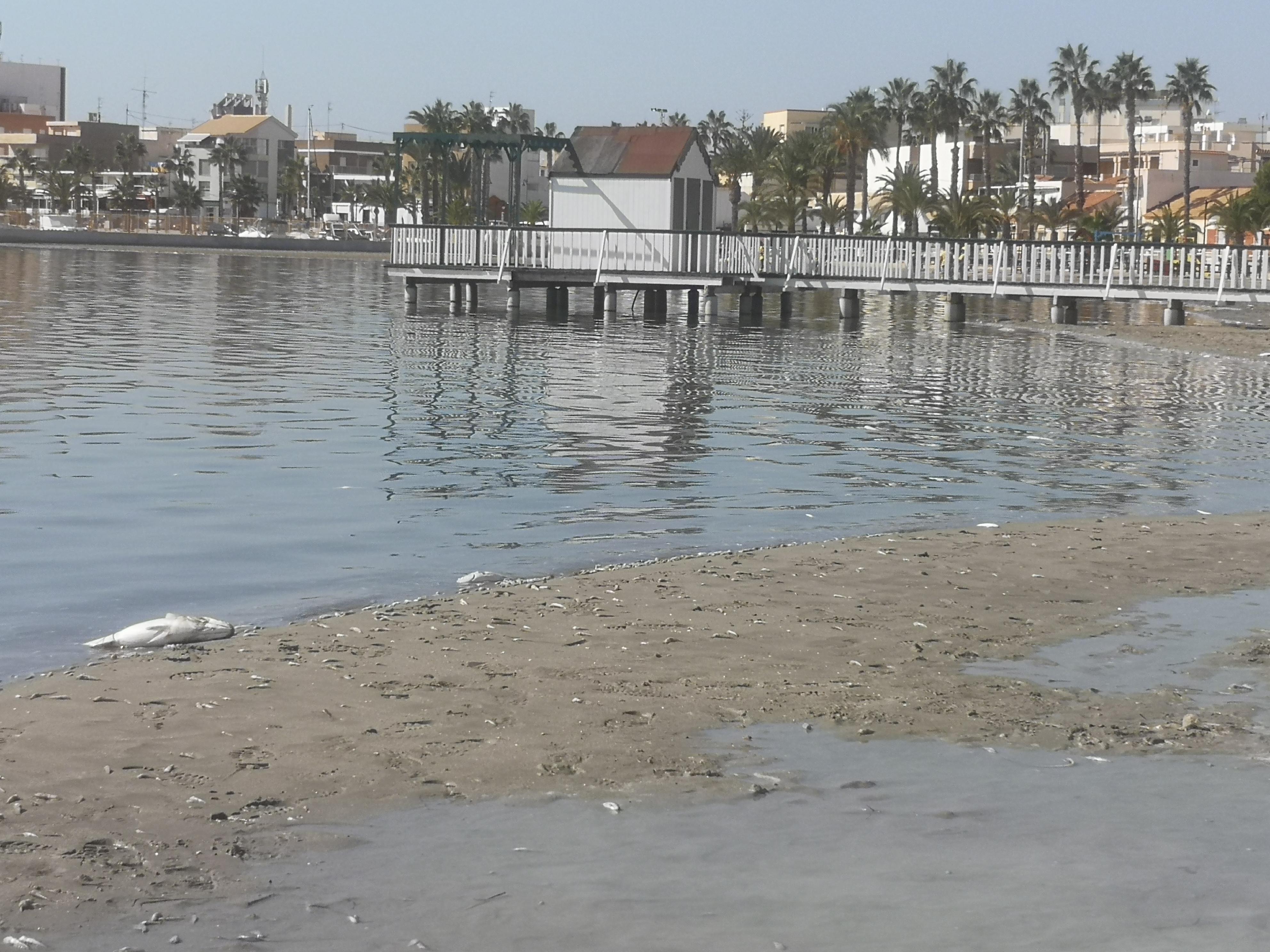 Peces muertos en la orilla del Mar Menor durante el reciente episodio de mortandad. Imagen: EEA