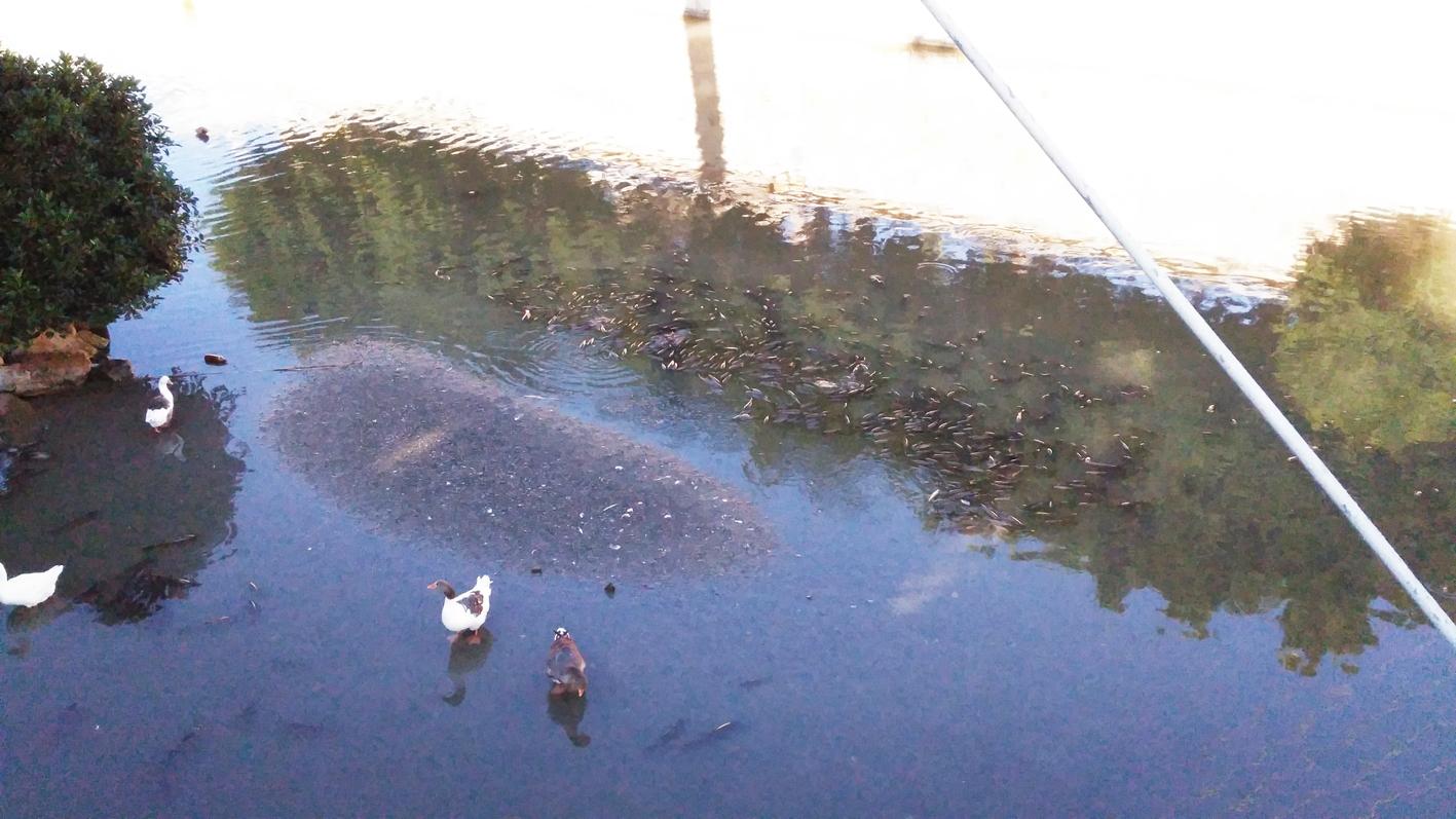 Peces muertos en el río Segura, esta misma mañana. Imagen: Huermur
