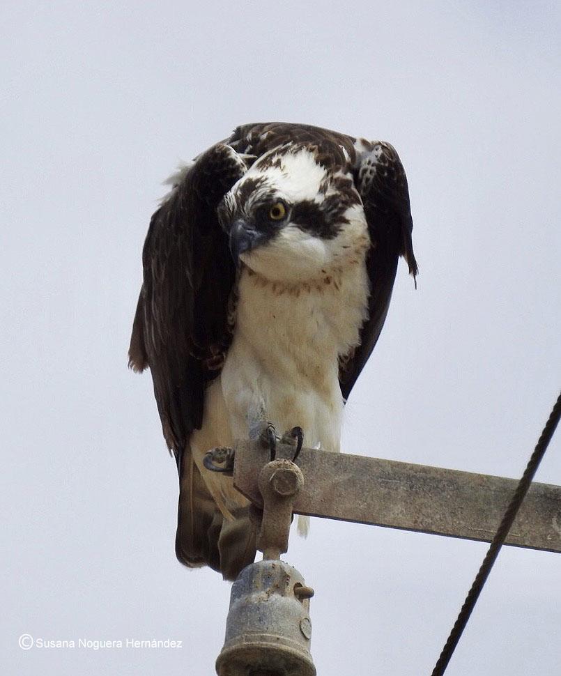 Águila pescadora en las salinas de Bonanza. Imagen: Susana Noguera Hernández
