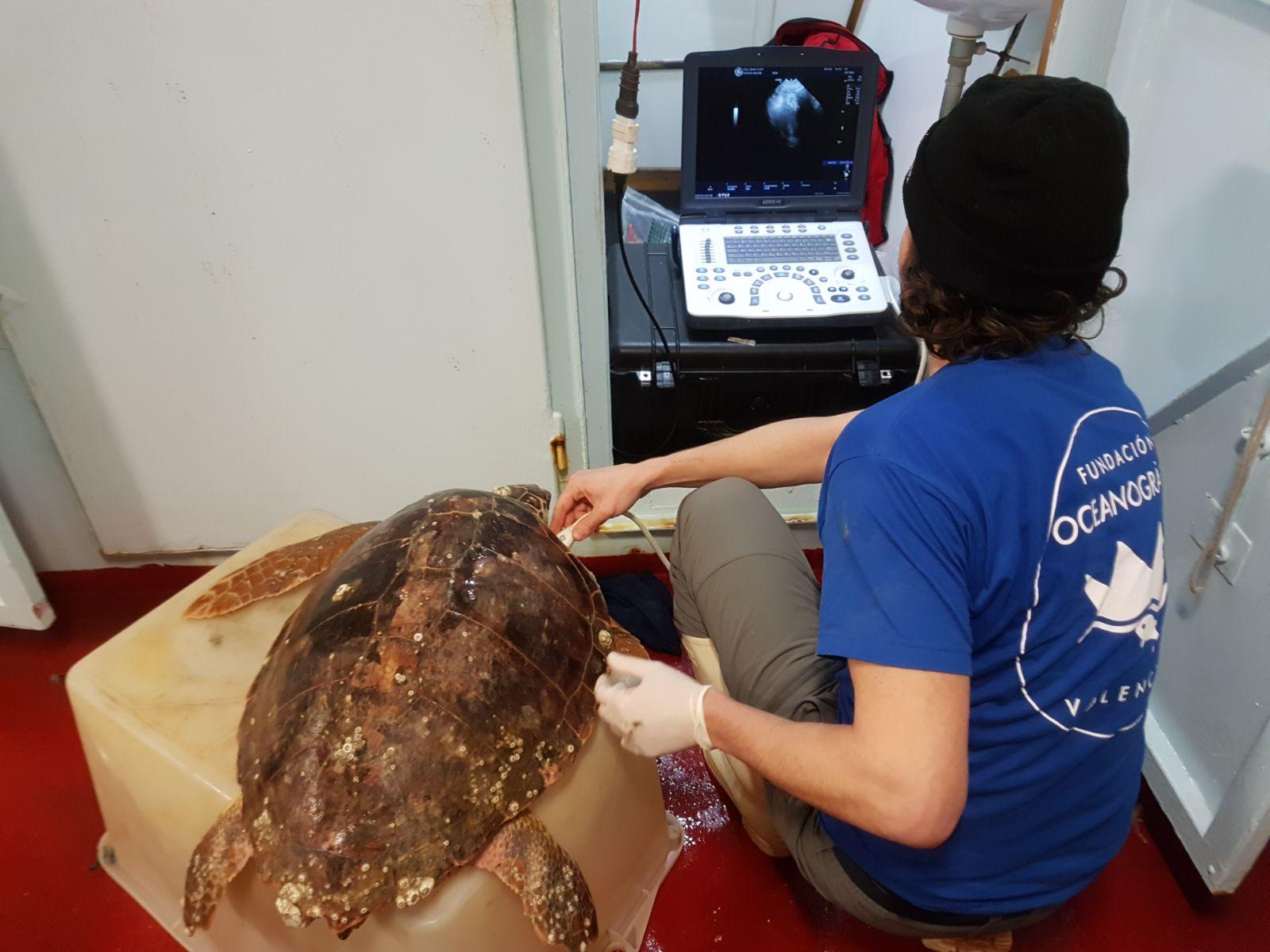 studio de la Fundación Oceanográfic de tortugas marinas en el Adriático. Imagen: Fundación Oceanogràfic