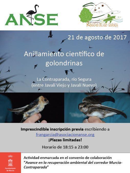 Anillamiento científico de golondrinas, con ANSE