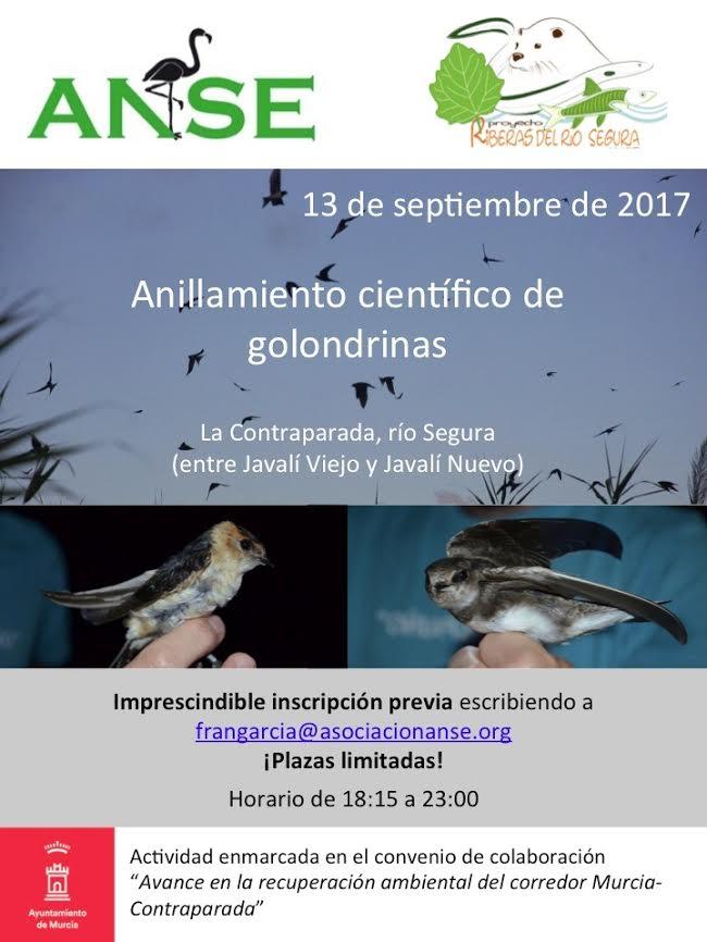 Anillamiento científico de golondrinas, con el Ayto. de Murcia