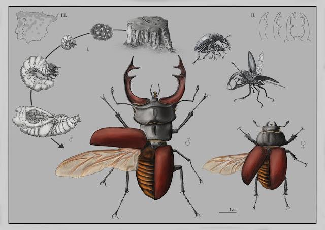 'Ciervo volante', de Rita Cortês de Matos, ganadora en la la categoría científica. Imagen: MNCN-CSIC