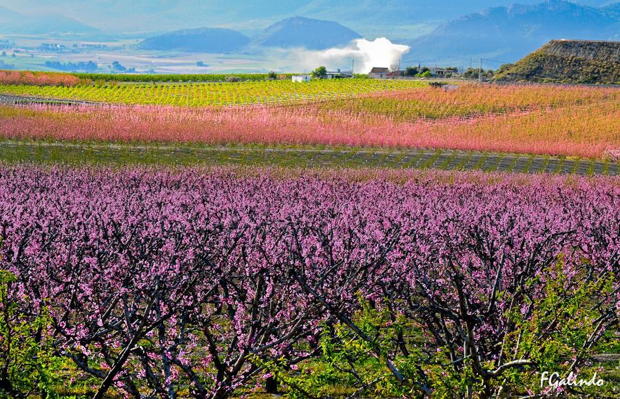 Imagen de la floración de Cieza, por Fernando Galindo.