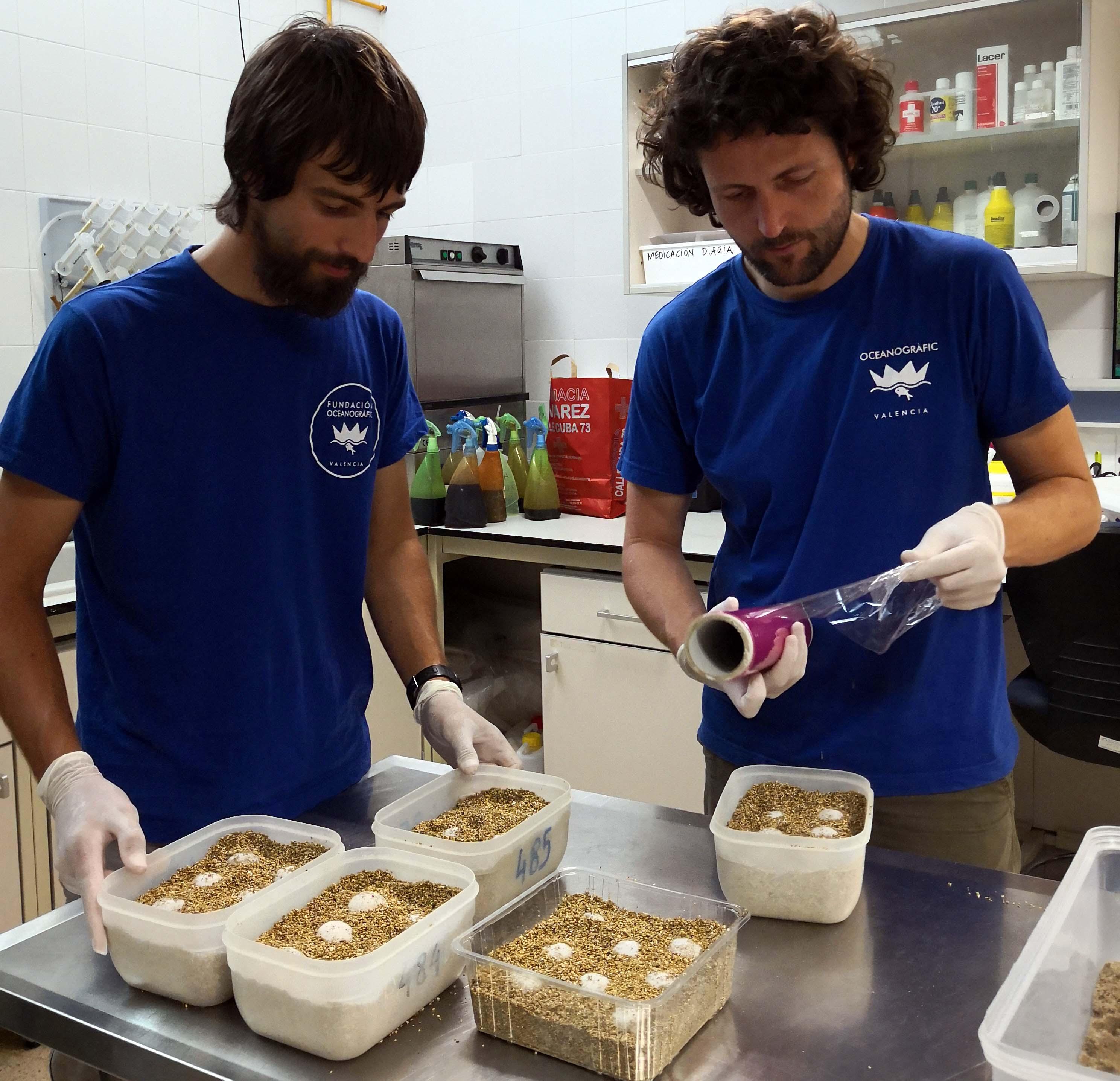 La Fundación Oceanogràfic  se ha hecho cargo de los huevos depositados hace unos días por una tortuga marina en la playa de Castelló. Fundación Oceanogràfic