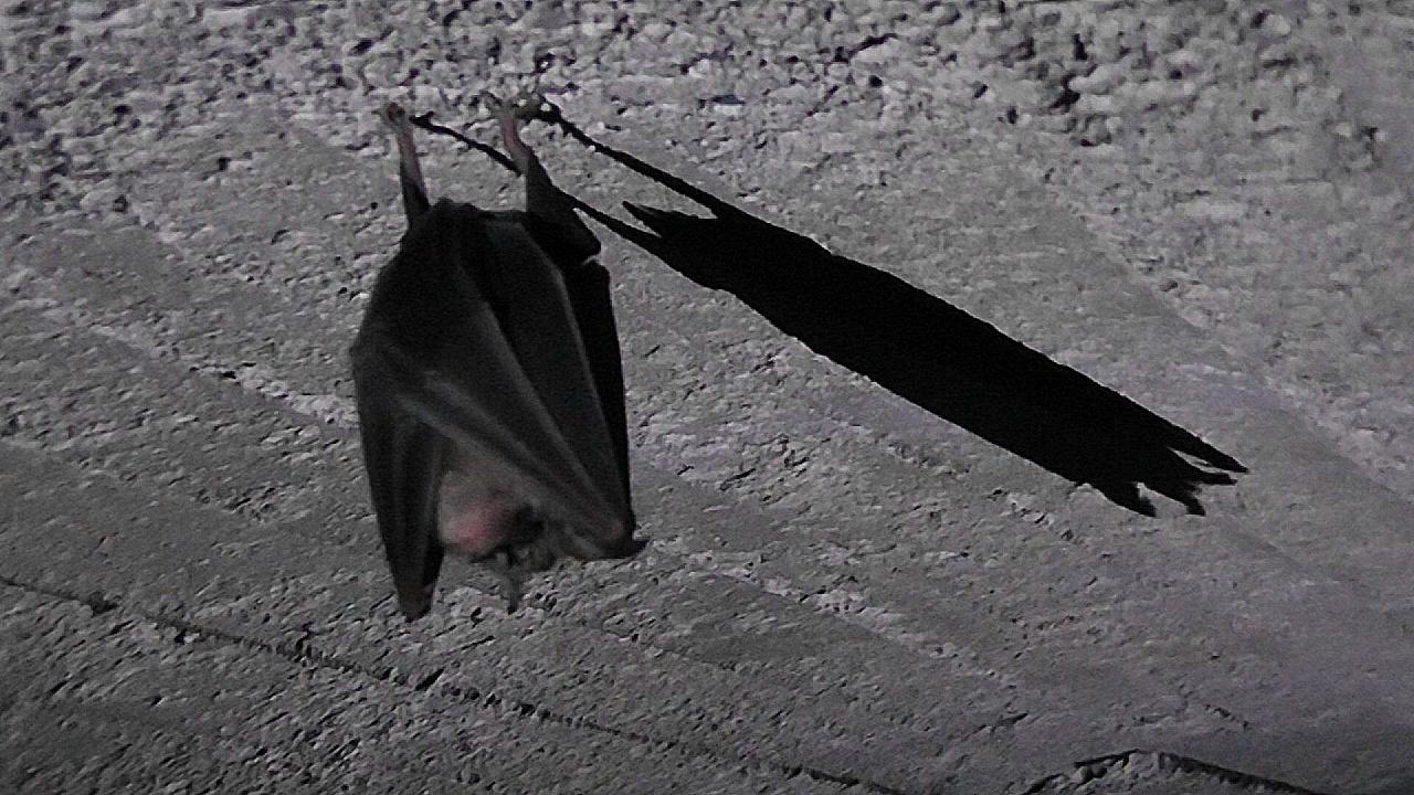 Murciélago de herradura. Imagen: elclickverde