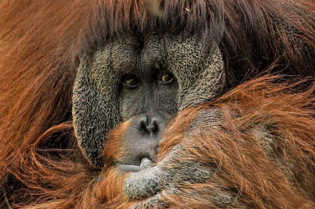 Orangután. Imagen: Pixabay