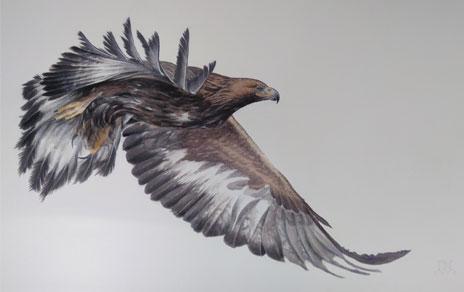 Águila real volando, tamaño 105x160 cm. Imagen: Iñaki Díez / MNCN