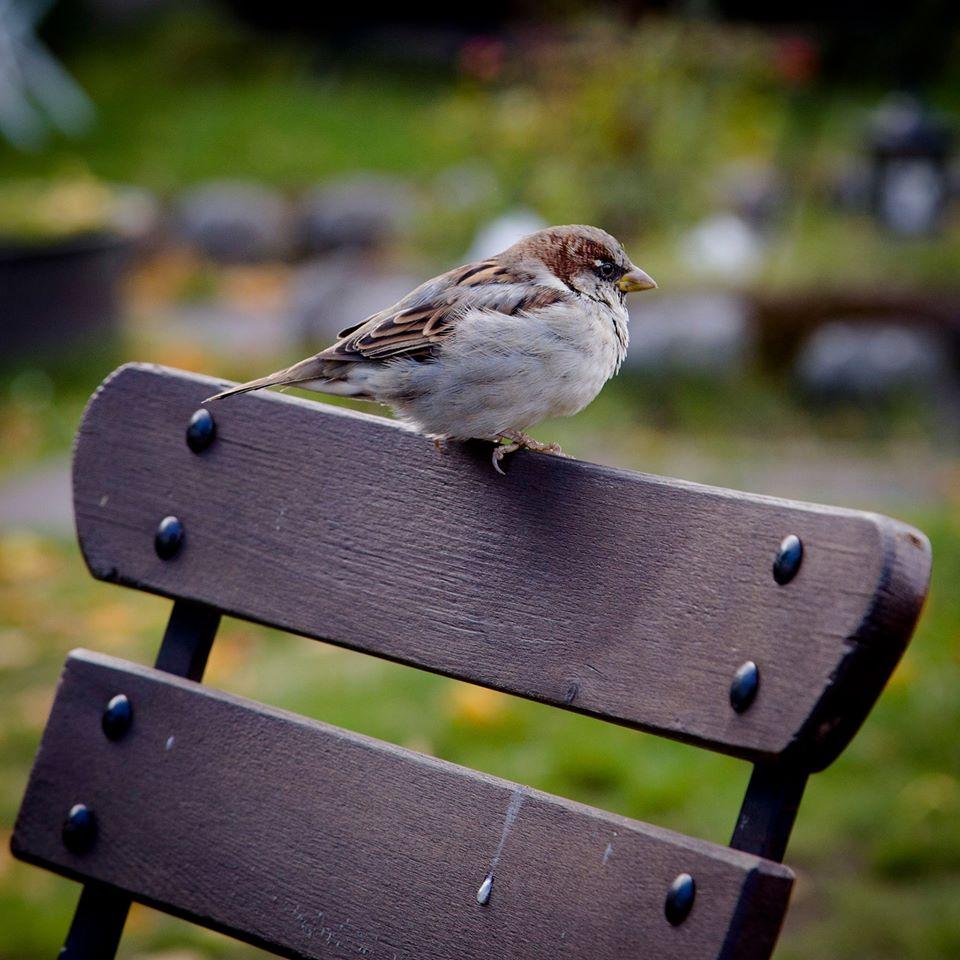 Pregunta a los expertos por los gorriones de tu ciudad, con SEO/Birdlife