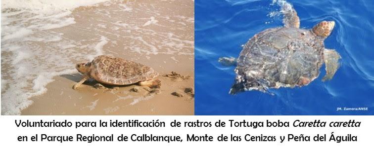 Voluntariado para la Identificación de rastros de tortuga boba en el PR Calblanque con ANSE