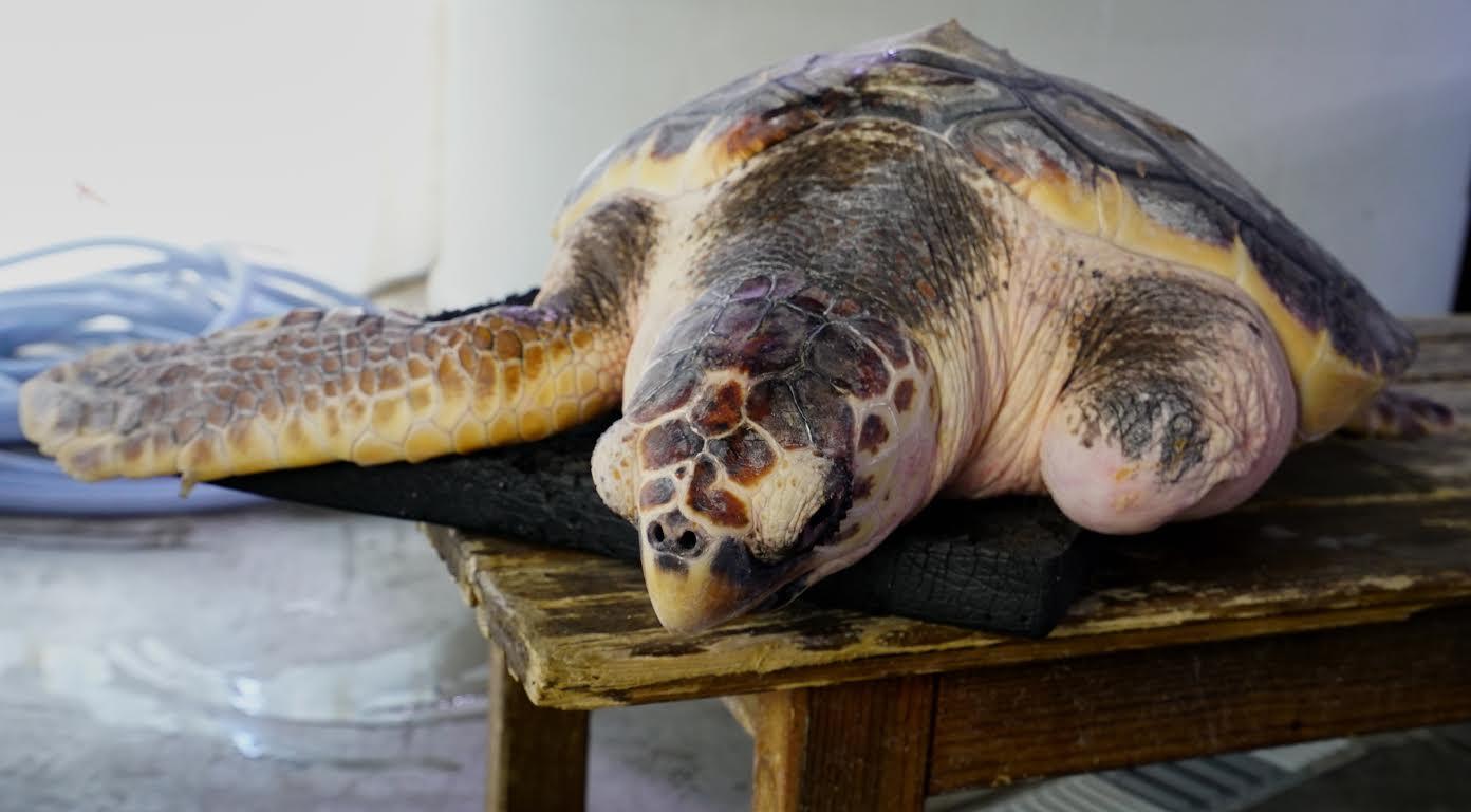 La torutga Donosti, que será pronto liberada. Omagen: Oceanogàfic de Valencia