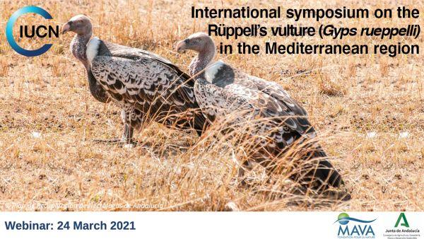 Webinar sobre el Buitre de Rüppell, con UICN