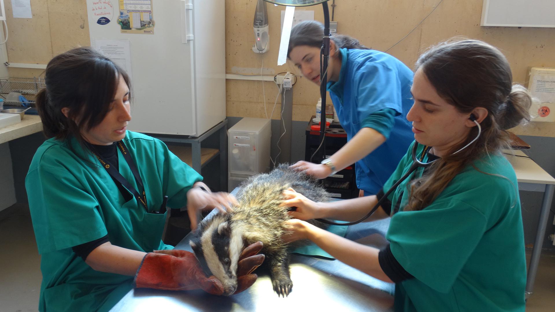 Exploración veterinaria a un tejón en el Hospital de Fauna de Grefa. Imagen: Grefa