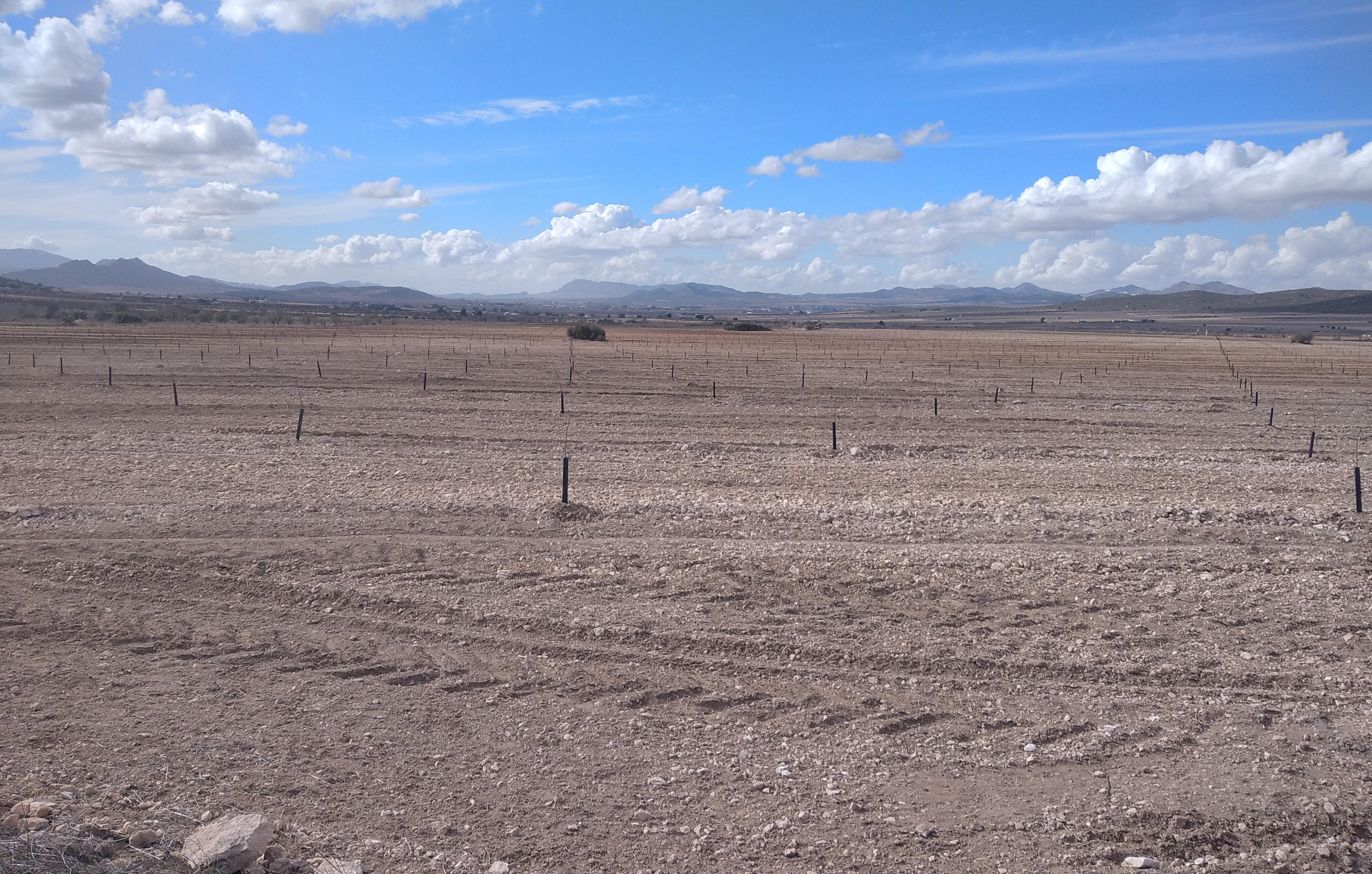 Extensa transformación de cultivo de cereal a almendros en la ZEPA Moralillas-Almela. Imagen: Adensva