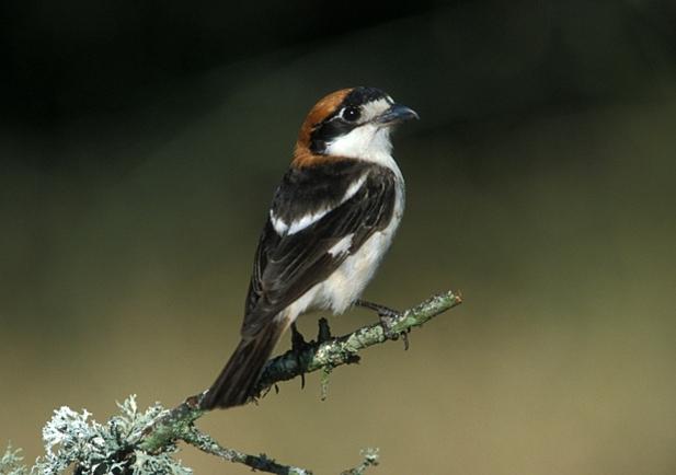 Alcaudón común. Imagen: SEO Birdlife