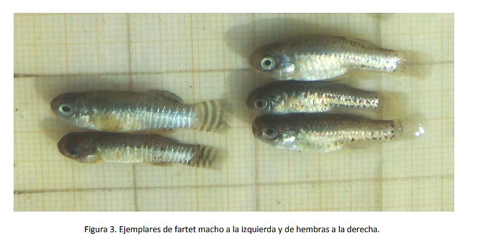 Extracto del informe 'Seguimiento biológico de fartet ('Aphanius iberus') en la Región de Murcia 2017-2018' publicado por la Comunidad Autónoma. Imagen: CARM